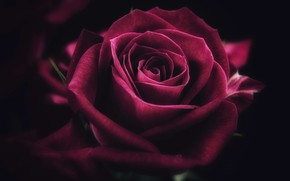 Wallpaper flower, rose, petals, Bud