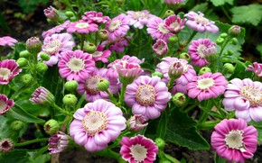 Picture flowers, pink, cineraria