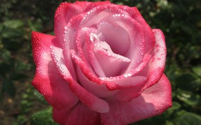 Picture pink, rose, petals, mamala ©