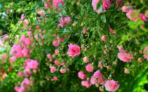 Picture The bushes, Pink roses, Pink roses