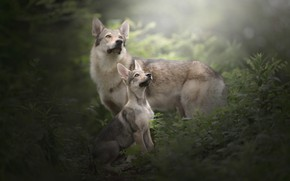 Picture dogs, grass, puppy, Czechoslovakian, Wolfdog, The Czechoslovakian Wolfdog