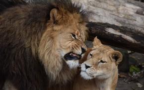 Picture Leo, lioness, roar