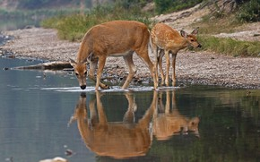Picture nature, reflection, fawn, drink, female, white-tailed deer