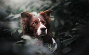 Picture look, face, leaves, portrait, dog, The border collie