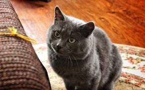 Picture cat, grey, cat, legs, beautiful