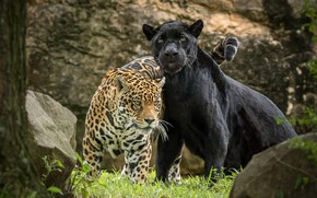 Wallpaper Panther, predator, Jaguar, pair