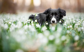 Picture forest, eyes, look, face, flowers, Park, background, glade, black and white, portrait, dog, blur, spring, …