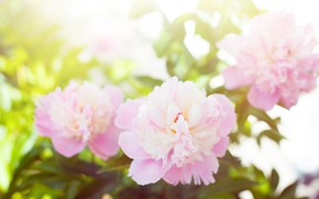 Picture flowers, spring, flowering, shrub, peonies