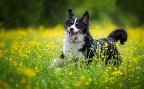 Picture joy, flowers, dog, meadow, walk, Bernese mountain dog