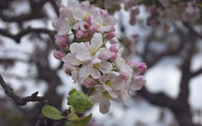 Picture flowers, spring, Branch, Apple