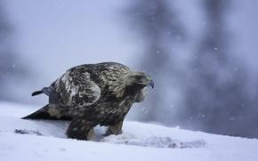 Picture snow, birds, predator, eagle, golden eagle, Golden eagle