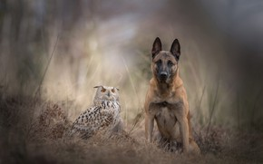 Wallpaper forest, autumn, grass, friendship, bird, a couple, sadness, blur, Belgian shepherd, owl, nature, background, animals, ...