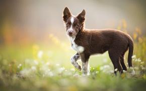 Wallpaper brown, puppy, Tissaia, weed, The border collie