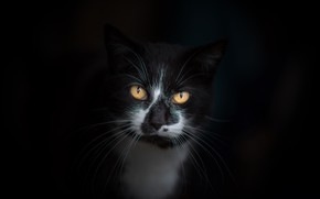 Picture cat, eyes, cat, mustache, look, face, the dark background, background, black and white, black, Tomcat, …