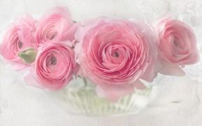 Picture pink, buttercups, Ranunculus