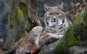 Picture tree, calm, lynx