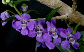 Picture plant, petals, angelonia angustifolia