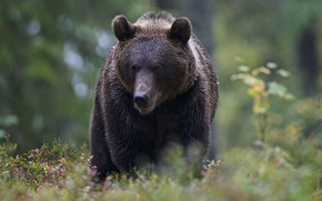 Picture forest, bear, bokeh