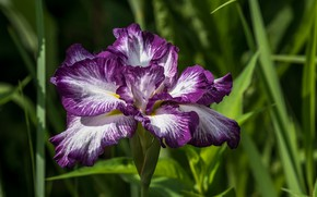 Picture leaves, flower, iris
