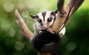 Picture animal, branch, bokeh, animal, Verdana rexsi, sugar possum