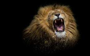 Picture language, grass, face, cats, flowers, predator, Leo, king, mouth, mane, fangs, black background, wild cats, …