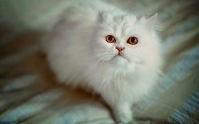 Wallpaper Persian cat, white cat, fluffy, look, cat