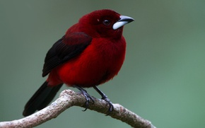 Picture birds, branch, raspberry Tanagra