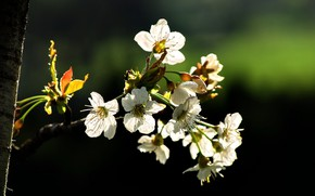 Picture cherry, spring, flowers