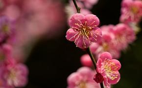 Picture macro, branch, spring, apricot, flowering, flowers, bokeh