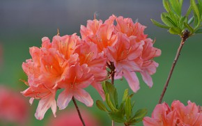 Picture flowers, nature, spring, flowering, rhododendron