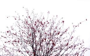 Picture The sky, Winter, Tree, Sakura, Bush, Black, White, Rowan, Red, Berry, Kalina, Japanese motifs