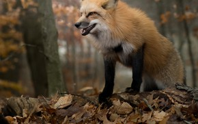 Picture autumn, forest, leaves, foliage, Fox, red
