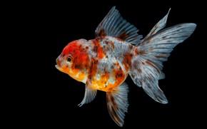 Picture black, goldfish, fish