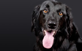 Wallpaper look, black, dog, muzzle, Hovawart