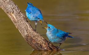 Picture water, birds, nature, branch, beak, pair, blue sialia