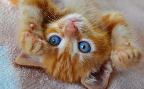 Picture eyes, cat, kitty, legs, blue, cute, lies