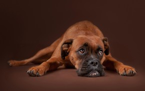 Wallpaper face, sadness, Boxer, background, dog, look, portrait