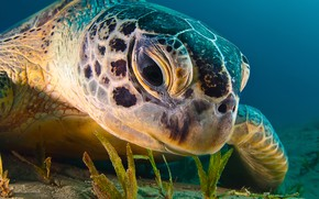Picture sea, the ocean, turtle, under water