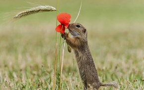 Picture flower, nature, Mac, petals, rodent, the European ground squirrel