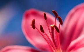 Wallpaper stamens, petals, flower, nature