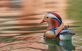 Picture water, ruffle, duck, Mandarin duck