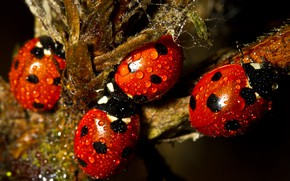 Picture drops, macro, insects, branches, Rosa, the dark background, plant, ladybug, beetle, bugs, red, ladybugs, Quartet, …