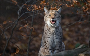 Picture branches, lynx, wild cat
