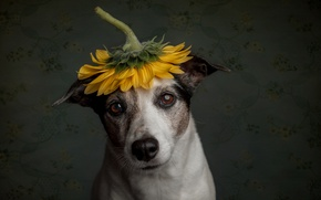 Picture sadness, sunflower, dog