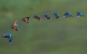 Picture birds, a lot, Alcedo