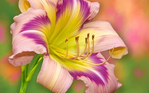 Picture macro, background, petals, stamens, daylilies
