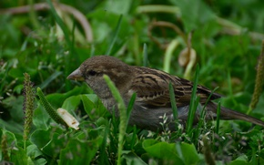 Picture greens, summer, grass, Sparrow, good weather