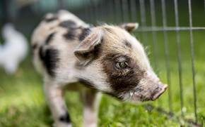 Picture background, the fence, pig