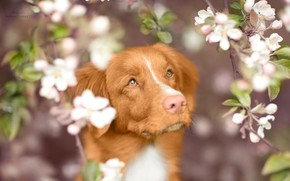 Picture look, face, branches, dog, spring, flowering, Nova Scotia duck tolling Retriever