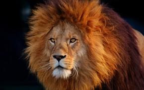 Picture cat, Leo, mane, Africa
